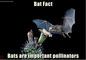 Bat Fact  Bats are important pollinators