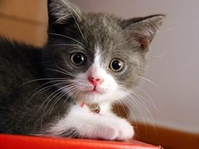 Kjoot Kitten