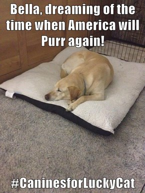 Bella, dreaming of the time when America will Purr again!  #CaninesforLuckyCat