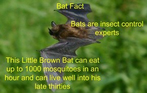Bat Fact
