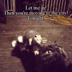 City rats are much smaller...