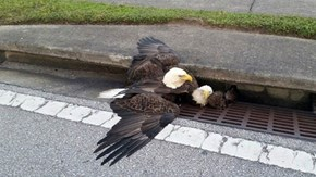 Symbolism of the Day: Bald Eagles Stuck in Sewer
