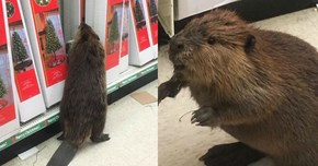 Beaver Named Scrooge Breaks Into Store Just to Destroy the Christmas Decorations