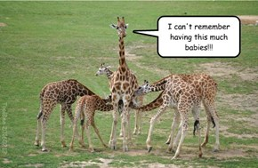 Baby giraffes steal milk, and adults let them do it! (see article below)