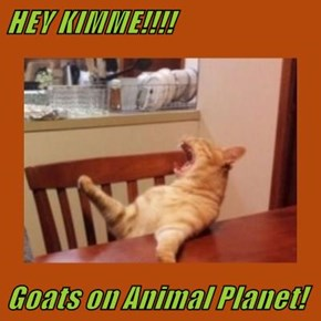 HEY KIMME!!!!  Goats on Animal Planet!