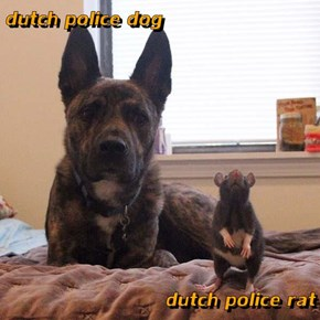 dutch police dog  dutch police rat