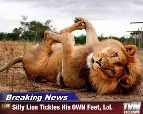Breaking News - Silly Lion Tickles His OWN Feet, LoL