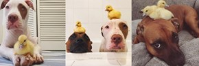 Rescue Dogs Help Foster a Couple of Baby Ducks