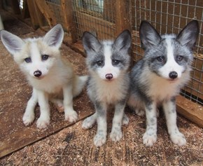 This Baby Fox Trio is so Beautiful