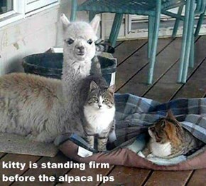 kitty is standing firm                                                                                    before the alpaca lips