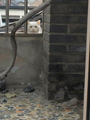 Worried Cat in China looks through patio of my Son's apartment.