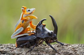 Badass Frog Riding a Beetle Gets the Photoshop Battle Treatment