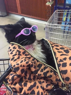 Thrift Shop Cat is Cooler Than You