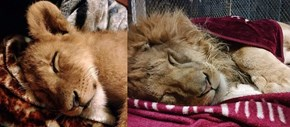 Lambert the Lion Can't Sleep Without His Blanket