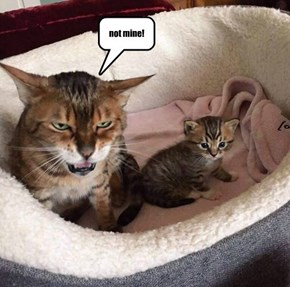 """Paternity Suits for Kittehs?  New Reality trend Show: Jerry Springer invites the Animal Kingdom to find out the most pressing question of today's super-superficial World: """"Who da baby daddy?"""""""