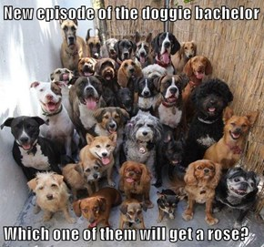 New episode of the doggie bachelor  Which one of them will get a rose?