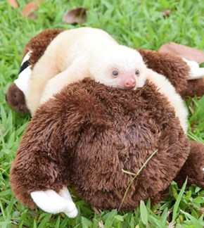 Baby Sloth Cuddling a Plush Sloth