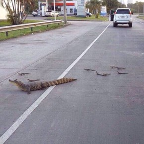 Why Did The Alligator Family Cross the Road?