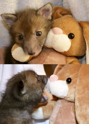 Baby Fox and Cuddle Bunny Are Inseparable