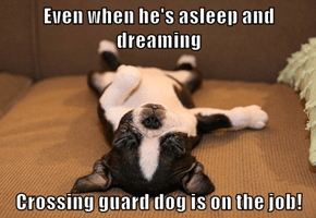 Even when he's asleep and dreaming  Crossing guard dog is on the job!