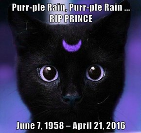 Purr-ple Rain, Purr-ple Rain ...          RIP PRINCE     June 7, 1958 – April 21, 2016