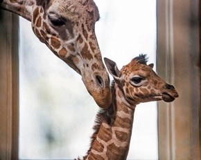 Reticulated Giraffe Calf Is so Big, yet so Tiny