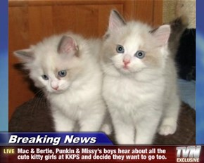 Breaking News - Mac & Bertie, Punkin & Missy's boys hear about all the cute kitty girls at KKPS and decide they want to go too.