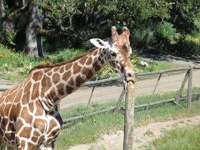 A Giraffe Sucking on a Post Makes for Some Really Great Photoshop Material