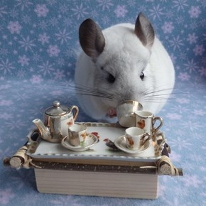 Chinchilla Tea Party