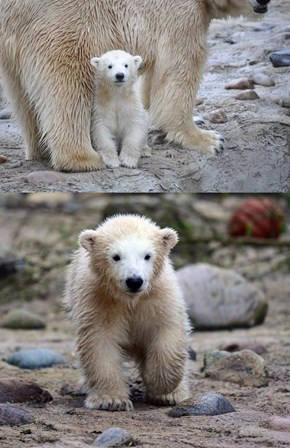 Germany's New Polar Bear Cub Sure is a Cutie