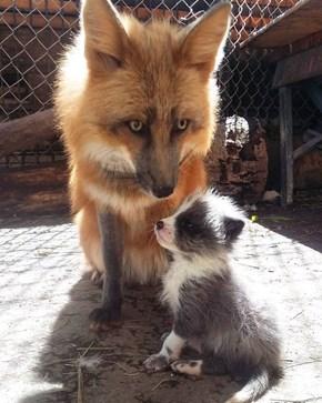 Big Fox, Little Fox. Red Fox, Blue Fox!