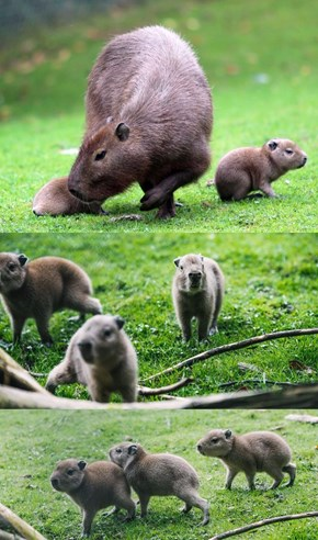 Look at These Adorable Baby Capybaras!