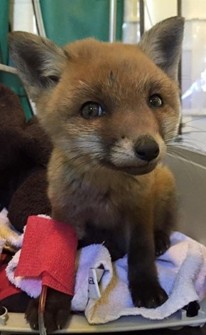 This Rescued Baby Fox Is so Cute It Doesn't Look Real