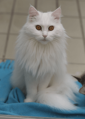 White Maine-Coon Beauty
