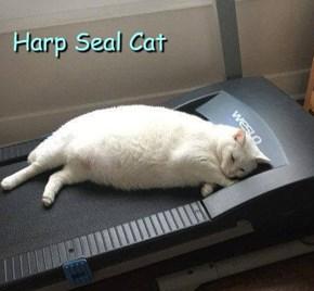 Harp Seal Cat