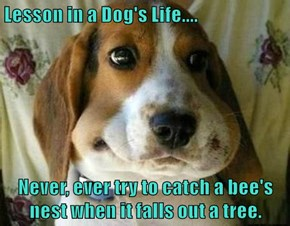 Lesson in a Dog's Life....  Never, ever try to catch a bee's nest when it falls out a tree.