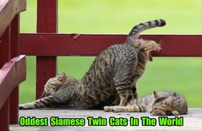 Oddest  Siamese  Twin  Cats  In  The  World