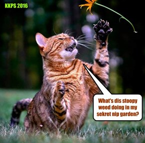 When not diligently carrying owt hims duties as Maintenace Kittie at KKPS, Mr. AllThumbs tends to hims gardening!