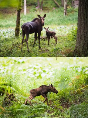 There's a New Moose Calf at the Northwest Trek Wildlife Park