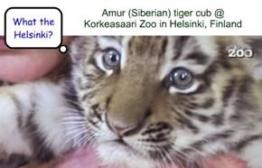 Amur (Siberian) tiger cub @ Korkeasaari Zoo in Helsinki, Finland