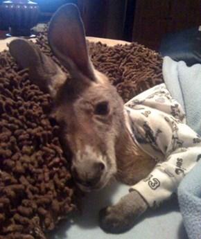 Here's a baby kangaroo wearing pajamas
