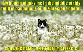 My human plunks me in the middle of this field of dandelions for his precious photo...  KNOWING DAMN WELL THAT I'M ALLERGIC!