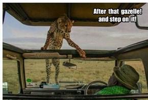 The next step in cheetah evolution