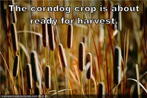 The corndog crop is about ready for harvest.