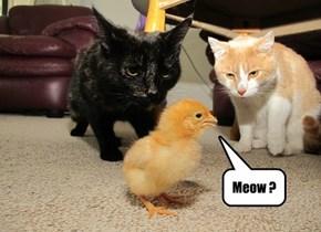 Meow ?