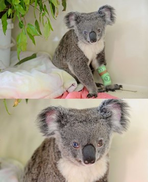 "Beautiful Koala Given the Name ""Bowie"" for Her Unmistakable Mismatched Eyes"