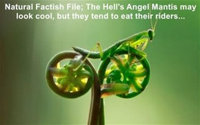 Natural Factish File; The Hell's Angel Mantis may look cool, but they tend to eat their riders...