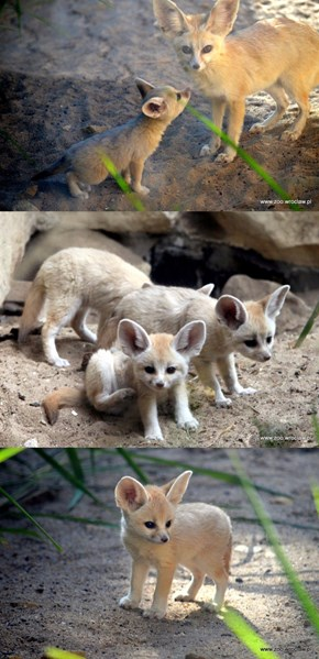 Look at These Precious Fennec Fox Kits That Just Debuted at Zoo Wrocław