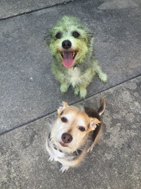 Can You Tell Which Dog Helped Mow the Lawn?