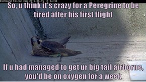 So, u think it's crazy for a Peregrine to be tired after his first flight  If u had managed to get ur big tail airborne, you'd be on oxygen for a week